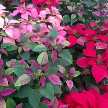 Buying Poinsettias: Christmas Flowers in Guatemala