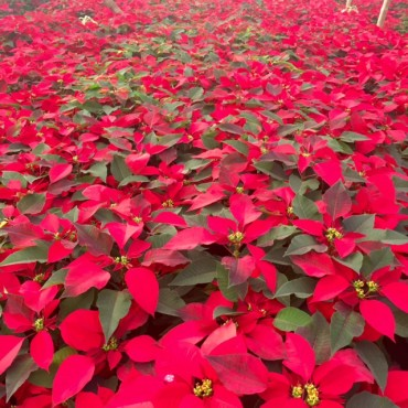 Red Poinsettias in Guatemala